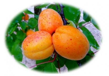 Gelée d'abricot
